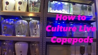 Download How to Culture Copepods Video