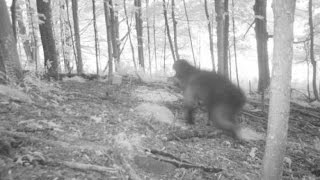 Download ACTUAL Bigfoot Finally Caught on Camera 2017?! [Real Sasquatch Proof/Evidence Captured] Video