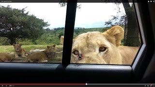 Download Lion opens car door Video