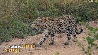Download Game of Thrones: The male leopards of Djuma Video