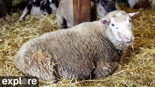 Download Sheep Barn Cam at Farm Sanctuary powered by EXPLORE.org Video
