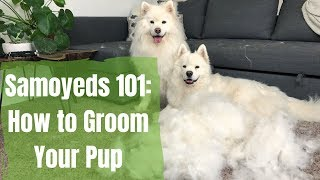 Download Samoyeds 101: How to Brush Your Dog | How to Groom a Pup with Excessive Hair Video