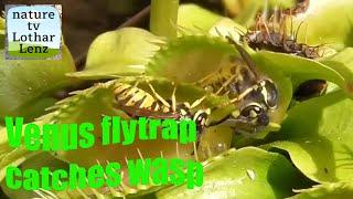 Download Venus flytrap catches yellow jackets. Venusfliegenfalle fängt Wespen Video