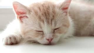Download Мурлыканье звук мурчание кошки слушать // 10 часов // 3D ЗВУК Video