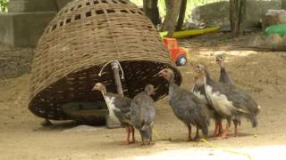 Download Awesome Quick Bird Trap in My Village - Homemade Best Bird Traps Video