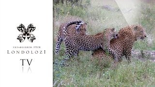Download Leopard Cubs Takes on Father - Londolozi TV Video