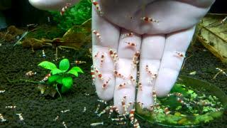 Download Crystal Red Shrimp Deadly Attack 🦐 Marks Shrimp Tanks 🦐 Video