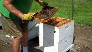 Download Large Honeybee hive Split the easy way by Tim Durham Video