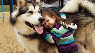 Download Funny Husky and Baby Videos Compilation (2017) Video