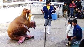 Download 【大爆笑】 これは面白い!! セイウチのショー / 大分マリーンパレス水族館「うみたまご」 Video