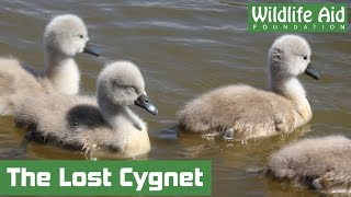 Download Stranded cygnet washed away down a weir Video