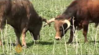 Download Spanish bullfighting no longer aired - 15 Mar 08 Video