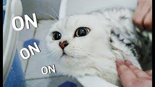 Download 【花花与三猫】猫咪用生命反抗洗澡,气到脸变形,你已经失去本宝宝了 Video