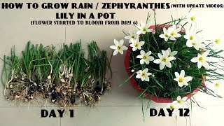 Download How to Grow Rain / Zephyranthes Lily in a Pot (With Update Videos) Video