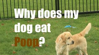 Download Why Does My Dog Eat Poop? Video