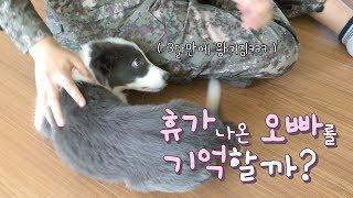 Download 강아지는 3개월 만에 휴가나온 오빠를 기억할까? / 보더콜리 솔라 반응 Video