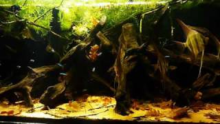 Download HD video - 530L Pterophyllum altum tank Video