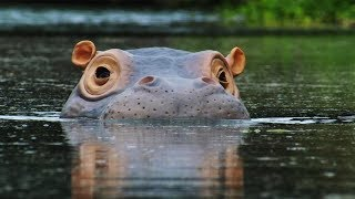 Download Spy Hippo discovers a Fish Spa! | Spy In The Wild | BBC Earth Video