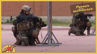Download Impresionante ejercicio práctico con perros militares: ataque y detección de explosivos Video