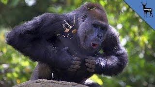 Download Why Do Gorillas Pound Their Chest? Video