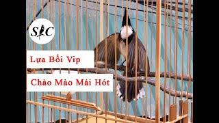 Download Chào mào mái hót dụ trống lựa chim bổi vip Video