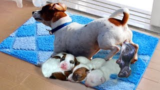 Download Mommy Jack Russell Dog Giving Birth To 5 Cute Puppies Video