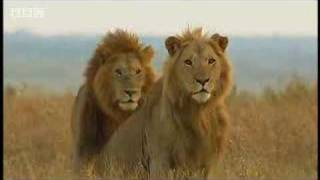 Download King lion duo and their pride - BBC wildlife Video