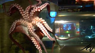 Download Giant Pacific Octopus, Seattle Aquarium HD - YouTube Video