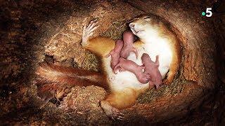 Download Naissance de bébés écureuils en direct - ZAPPING SAUVAGE Video