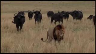 Download SafariLive 09 22. Beautiful sighting with Scarface male lion and buffs! Video