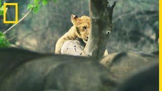 Download Un jeune lion affronte un troupeau de buffles Video