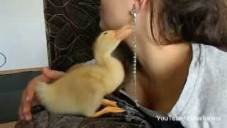 Download Cute Duckling Reloaded - Cute Duck Video