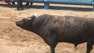 Download Bullfighting, South Korean Style Video