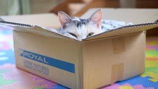Download ダンボールをほじくった後におもしろい顔でくつろぐ三毛猫 Video