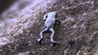 Download Pebble toad rollover - Nature's Greatest Dancers: Episode 2 Preview - BBC One Video