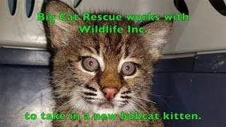 Download A New Rehab Baby Bobcat Video