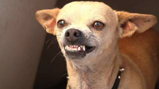 Download My roommate's chihuahua wants to kill me Video