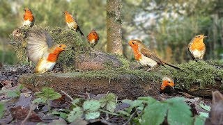 Download Videos for Cats to Watch - Robin Bird Frenzy and Other Beautiful Birds Video