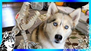 Download HUSKIES REACT TO HOWLING BONE DOG | Dogs React | Scary Halloween prank Video