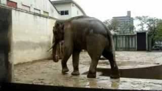 Download Bull Asian Elephant ″MAC″ In Musth 01/マスト時のマック動画集01 Video