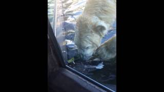 Download San Diego Zoo Polar Bear kills duck. Video