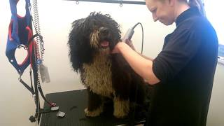Download Spanish Water Dog annual clip Video