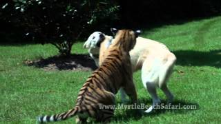 Download Dog Raises Tiger Cub - Gemma & Veda Video