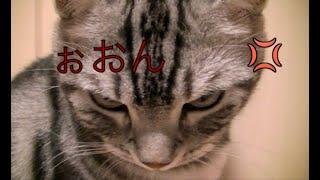 Download 【猫記録241】猫に説教したらすごい顔された-I preach a cat a sermon Video