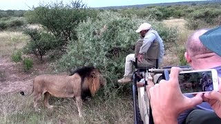 Download Lion Smells Guides Foot While On Safari Video