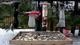Download Pine Siskins Make an Uncommon Visit to Ontario FeederWatch Cam –Feb. 22, 2017 Video