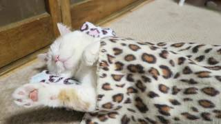 Download おひるねする猫 Cat sleeps 2017#1 170609 Video