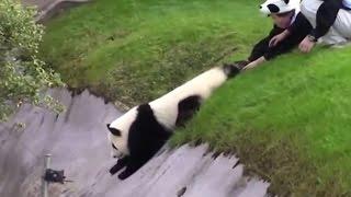 Download Sevimli panda bakıcılarını böyle uğraştırdı Video