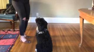 Download Tucks the Mini AussieDoodle Puppy Tricks 4 months old Video