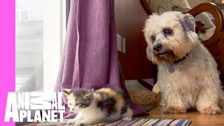 Download Kitten and Grown Dogs Meet for First Time | Too Cute! Video